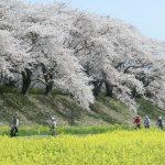満開の桜並木の下、菜の花畑の中を走る自転車。